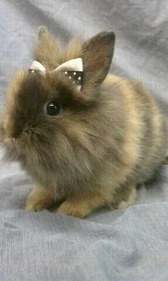 adorable dwarf rabbits | Dwarf Bunnies for sale in South Florida. Adorable Fluffy dwarf bunny ...