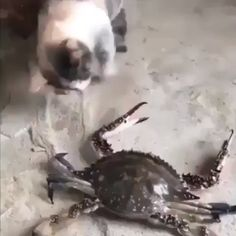 I love my Russian cat Source Funny Kid Memes, Funny Text Fails, 9gag Funny, Funny Animal Memes, Funny Laugh, Funny Animal Videos, Cute Funny Animals, Funny Animal Pictures, Best Funny Pictures