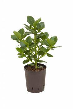 Jouw hydroplant Clusia rosea princess kopen?✓ direct van de beste kwekers ✓ kies uw eigen bezorgdatum ✓ gratis verzending vanaf €45,00 ✓ levering 1-2 werkdagen