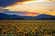 Sunflowers in Eastern Washington State (Hwy 395 N of Deer Park, WA) | photographer: James Richman |  #flowered_field #sunflower #washington_state