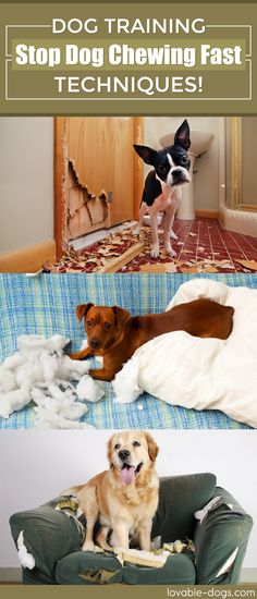 How To Teach Your Dog To Stop Chewing ►► http://lovable-dogs.com/how-to-teach-your-dog-to-stop-chewing/?i=p