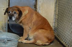 LADY (F, PREGNANT, Lab Mix, 5+ yr possibly, approx 60+ lb, HW POSITIVE) Lady was surrendered to the shelter in the late stages of pregnancy and is also heartworm positive. She appears to be an older dog and is very scared. PLEASE HELP LADY. Her hold is up 1-8-15, can be killed any time after that date.   SPONSOR LADY: http://www.petcaring.com/nonprofits/lady-hw-positive-pregnant-/47378   CONTACT: rcaps2011@gmail.com AND  RESCUED