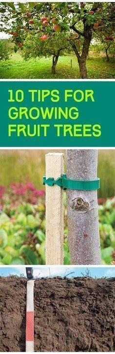 Fruit trees, growing fruit trees, how to grow fruit trees, gardening tips, popular pin, container gardening, gardening for beginners.