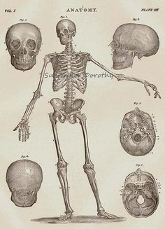 17TH C INFANT SKELETON MEDICAL A3 POSTER RE PRINT