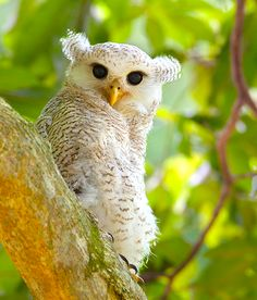 By LawrenceNeo #barred eagle-owl