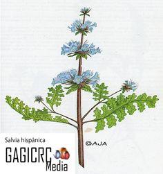 A Salvia hispanica, popularmente chia, é uma planta herbácea da família das lamiaceae (assim como a linho e a salvia), nativa da Guatemala e das regiões central e austral mexicanas (e Colômbia).  Mais conhecida por sua semente, a qual é comercializada integralmente, moída ou em forma de óleo, a chia também é dona de folhas que podem ser aproveitadas para infusões.