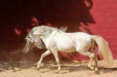 Cream colored ponies...