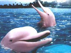 Delfines rosados del rio Amazonas Pink Delfines from the amazon river PINK DOLPHINS AMAZON RIVER. PERÚ