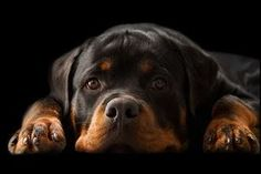 rotti. always been a fav dog breed