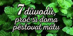 7 důvodů, proč si doma musíte začít pěstovat mátu + 3 recepty! Healing Herbs, Aloe, Mojito, Herbalism, Pesto, Health Fitness, Herbal Medicine, Health And Fitness, Fitness
