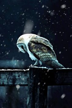The owl, symbol of knowledge, contemplates during the long cold night of winter.