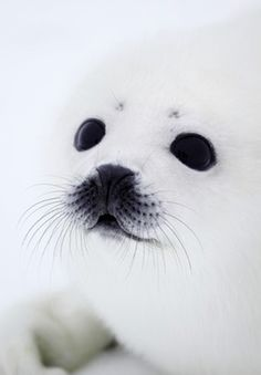 seal..I use to have a poster similar to this on my bedroom wall, when I was in Jr. High. 1972 ?