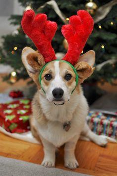 christmas corgi - Christmas Corgi