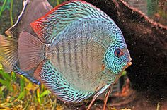 Blue Snakeskin Discus fish | Flickr - Photo Sharing!                                                                                                                                                                                 More