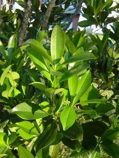 Capororoca (Rapanea ferruginea): Descrição, Cultivo, Paisagismo, Uso Ornamental