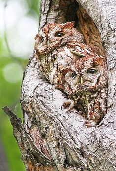 Baby Screech Owls camouflaged