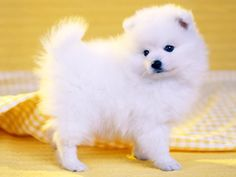 Japanese Spitz, I just can't get enough!!