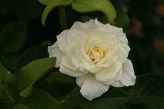 Moondance Rose Photograph Taken: 07/20/2014 Minnesota Landscape Arboretum Rose Garden