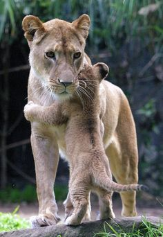Mom always makes it better :) Baby lion hugging Mommy lion!