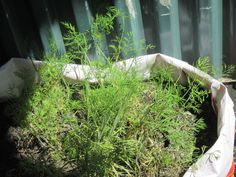 My dill bag. I love the taste of dill. I've loads more planted on the herb fence in milk bottles.After the summer, or when it is all eaten, I'm planting flowers in this and putting it on the shed roof! Mid June 2014.