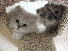 Doll Face Persian Cats