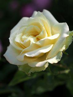 Hybrid Tea Rose: Rosa 'Jade' (Germany, 2000)