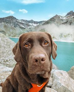 dog learning,dog tips,dog care,teach your dog,dog training Labrador Retriever Chocolate, Chocolate Lab Puppies, Golden Retriever, Chocolate Labs, Retriever Puppies, Cute Puppies, Cute Dogs, Dogs And Puppies, Doggies