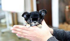 teacup chihuahua | So cute teacup chihuahua | Flickr - Photo Sharing!