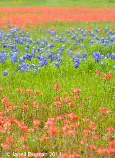 Bluebonnets and Indian Paintbrush in a field