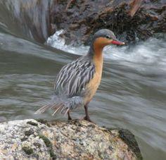 Chilean Torrent Duck female
