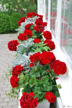 stunning window box of red Geraniums, any silver-leaved plant, and cascading dwarf Ivy