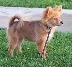 my dream doggie, American Eskimo- Pomeranian mix :3 (or really anything with American Eskimo in it)