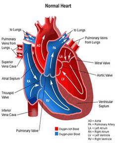 anatomy heart - The Circulatory System
