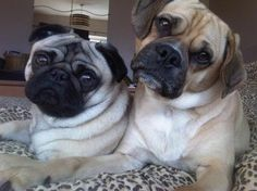 Just a cute Puggles and Pug Pic!