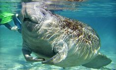 Groupon - Dolphin Encounter or Manatee Swim Tour from Snorkel with Manatees in Crystal River in Crystal River. Groupon deal price: $14