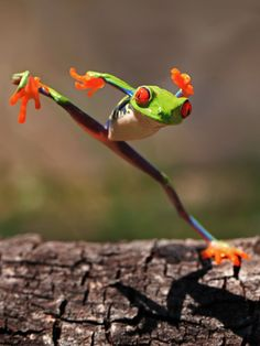 40 Amazing Frog Pictures To Understand Them Better Funny Frogs, Cute Frogs, Baby Animals, Funny Animals, Cute Animals, Tierischer Humor, Amazing Frog, Awesome, Red Eyed Tree Frog