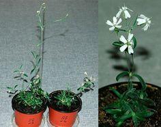 Esta planta nació de una semilla congelada de hace 32000 años enterrada por una ardilla ártica!   Visita nuestro perfil y aprende más!