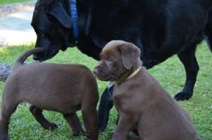 If we stand still, she might not know we are here. Labrador Puppies, Dogs And Puppies, Labrador Retriever, Labs, Dog Lovers, Chocolate, Funny, Animals, Beautiful