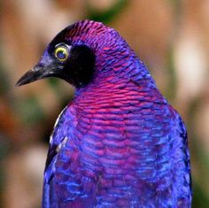 Violet-backed Starling Stuns with its Amethyst Feathers