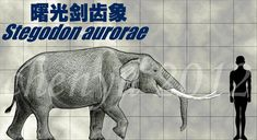 曙光剑齿象(Stegodon aurorae) This is a species small stegodon, life in early Pleistocene Japan . The fossil show their shoulder height is 1.6~2 m. Very interesting&#65...