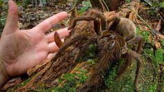 Spin zo groot als pup kruist pad van wetenschapper: de goliathvogelspin in het Amazonewoud