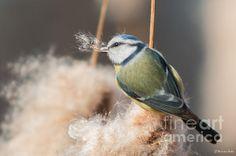 Blue Tit - Photograph by Jivko Nakev