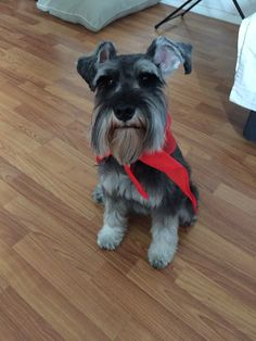 Ranger our mini schnauzer