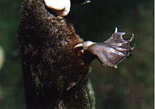 Platypus - Wikipedia, the free encyclopedia