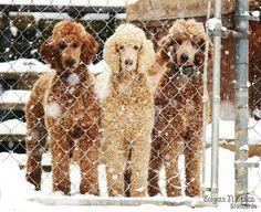 Apricot Standard Poodles, Kamri, Gracie & Lincoln