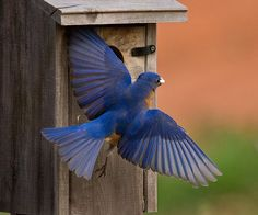 Our backyard bluebird Daddy II leaves the box with a fecal sac.  The poop of cavity nesting birds is contained in a thick gelatinous membrane to prevent nest fouling.  Daddy is just a gorgeous bluebird.  Read about our backyard bluebirds at bluebirddiary.wordpress.com/