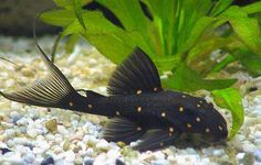 Meet: The Mustard Spot Pleco. One of the many kinds of fish in the pleco family, this freshwater catfish-relative is also known as the Orange Spot Pleco.