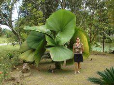 Licuala Grandis Palm