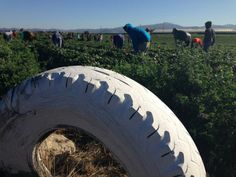 Workers in a strawberry field, Central Coast, California.