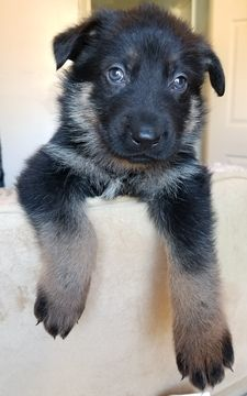 German Shepherd Dog Puppy For Sale In Warren Ma Adn 55446 On
